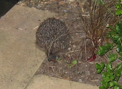 Hedgehog in my garden whilst I am star gazing